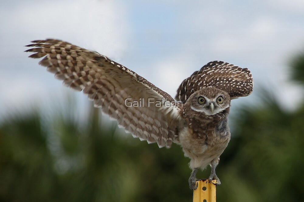 Burrowing Owl Stretching His Wings by Gail Falcon