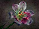 Tulipa laureola by Adriana Glackin