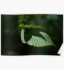 Beech Leaf Shadow Poster