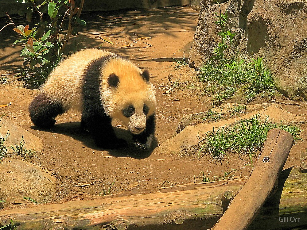 Baby Giant Panda by Gili Orr