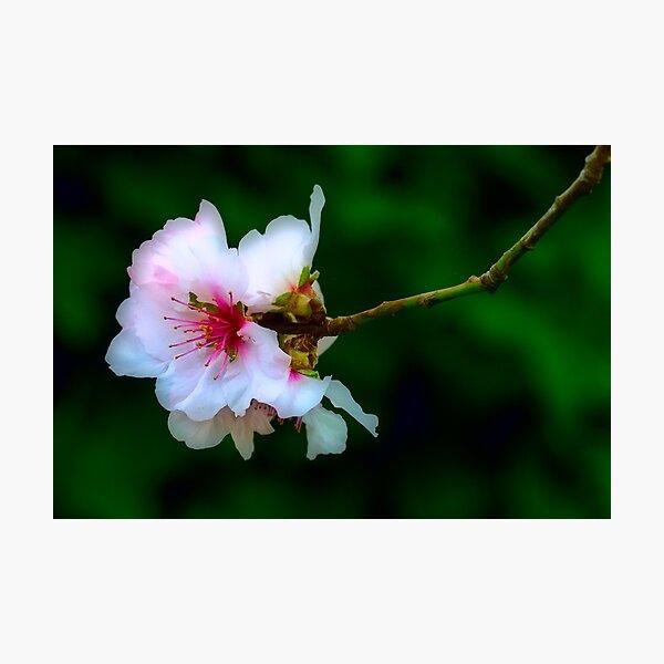 Almond Blossoms Photographic Print