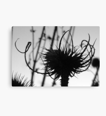 Teasel head (B&W detail) Canvas Print