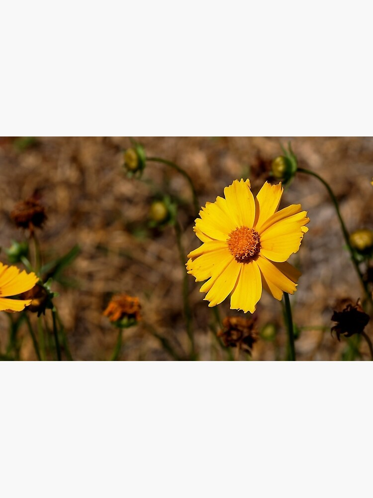 Small Sunflower in Southern California by douglasewelch