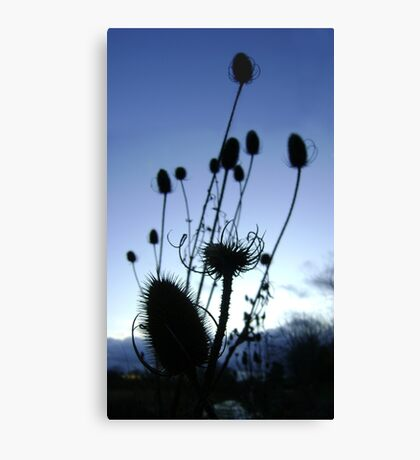 Teasels (Scottish streamside, November) Canvas Print