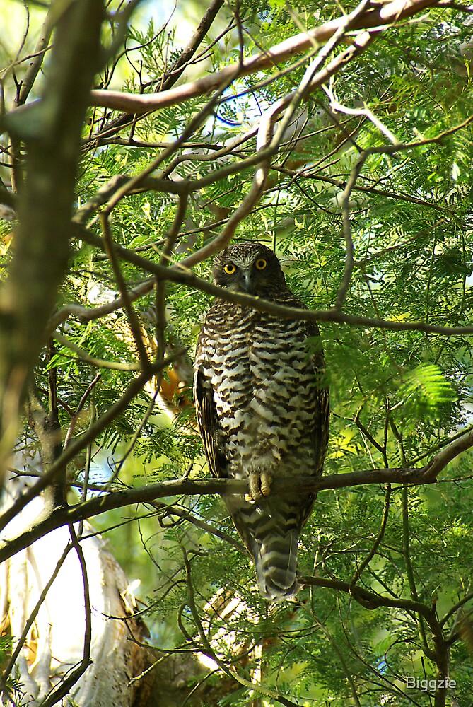 Powerful Owl Family 31 by Biggzie