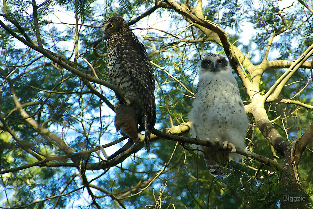 Powerful Owl Family 38 by Biggzie