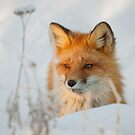 Red Fox (Vulpes vulpes) by Marty Samis