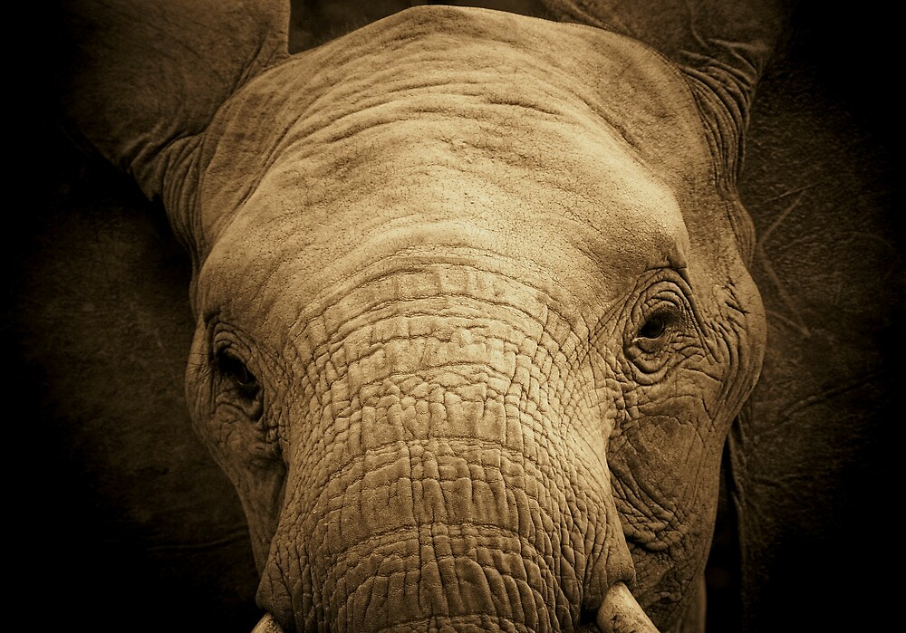Young elephant bull by CarolineKruger