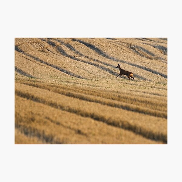 wild deer Photographic Print