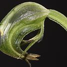 Pterostylis nutans by andrachne