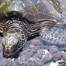 Sea Turtle on the Big Island  by Cheryl  Lunde