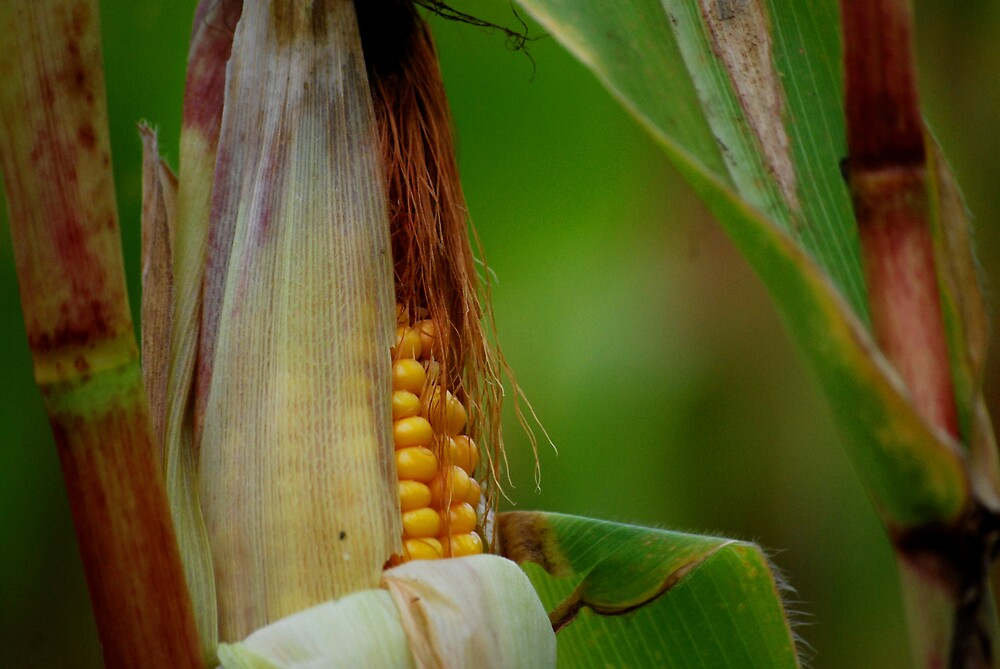 Corn Bokeh by Robert Goulet