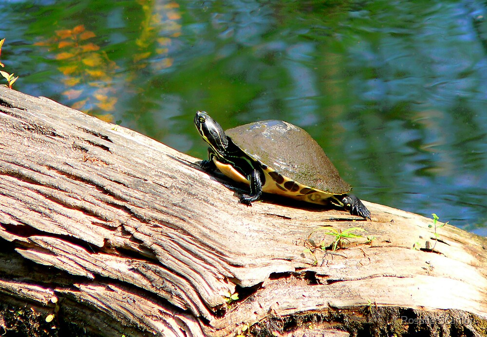 Common Cooter  by Rosalie Scanlon