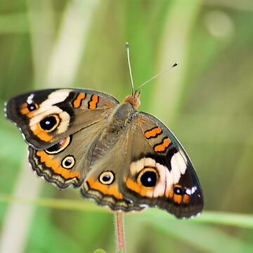 Common Buckeye by OrphieG