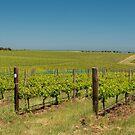 Vineyards of McLaren Vale, South Australia by SusanAdey