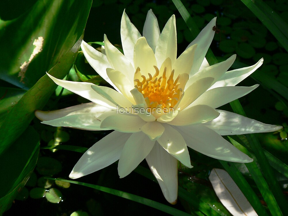 White Waterlily by louisegreen