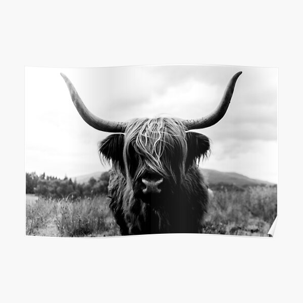 Scottish Highland Cattle - Black and White Animal Photography Poster