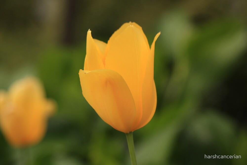 Single Tulip by harshcancerian
