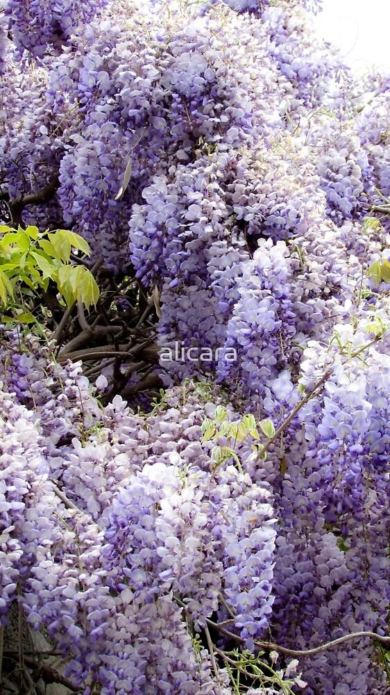 wisteria by alicara