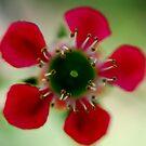 Sweet Geraldton Wax by Bev Woodman