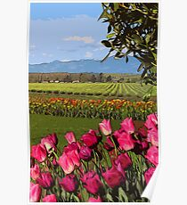 Skagit Valley, Tulip fields Poster