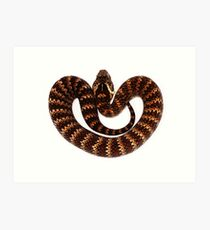 Common Death Adder (Acanthophis antarcticus) Art Print