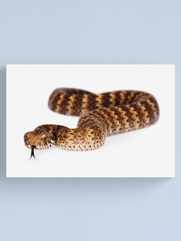 Alternate view of Common Death Adder (Acanthophis antarcticus) Canvas Print