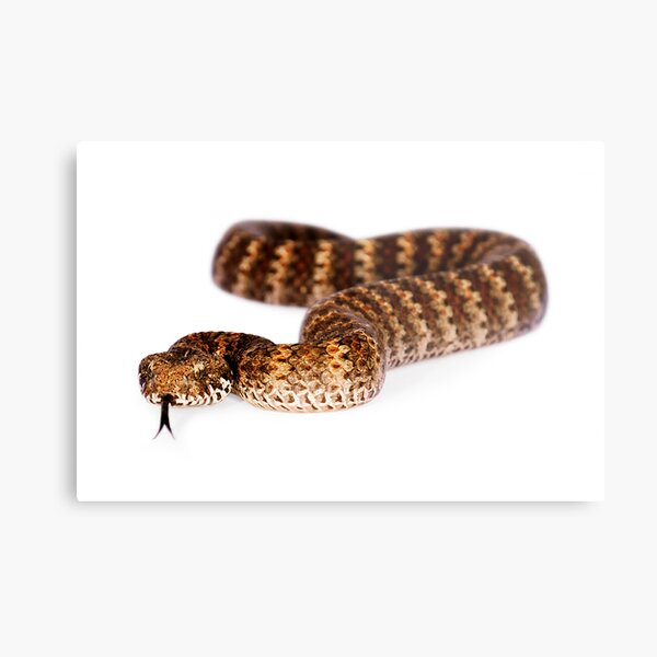 Common Death Adder (Acanthophis antarcticus) Metal Print