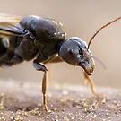 Black Flying Ant by wildrider58