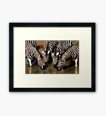 Thirsty Zebra Framed Print