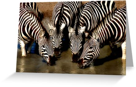 Thirsty Zebra by Sharon Bishop