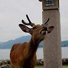 miyajima deer by Perggals© - Stacey Turner
