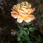 peach rose with dirt 10/14/17 by Shellaqua