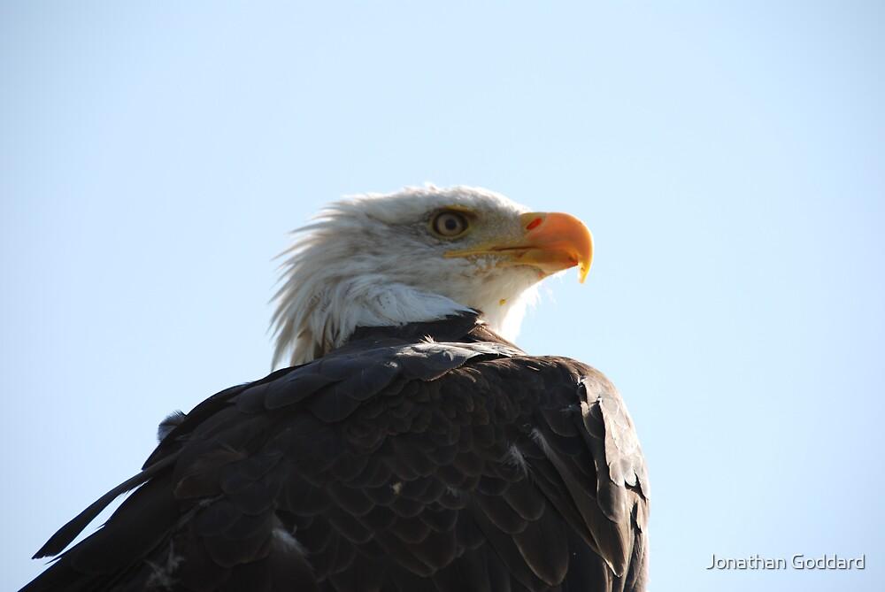 Bald Eagle watching its prey  by Jonathan Goddard