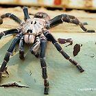 HORNED BABOON SPIDER - Ceratogyrus brachycephalus by Magriet Meintjes