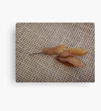 Tipuana seeds in a branchlet Canvas Print