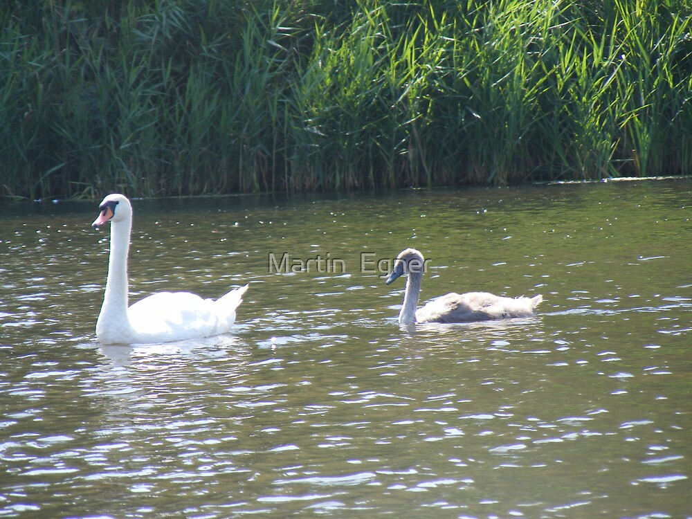 Swan mother with Signet by Martin  Egner
