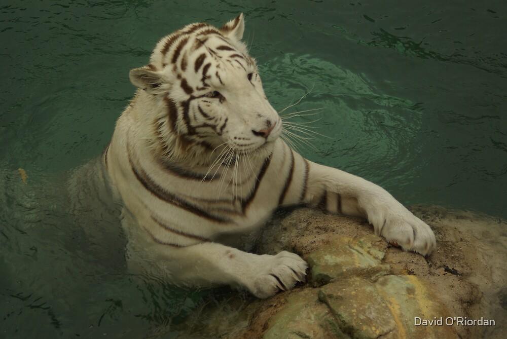 White Tiger by David O'Riordan