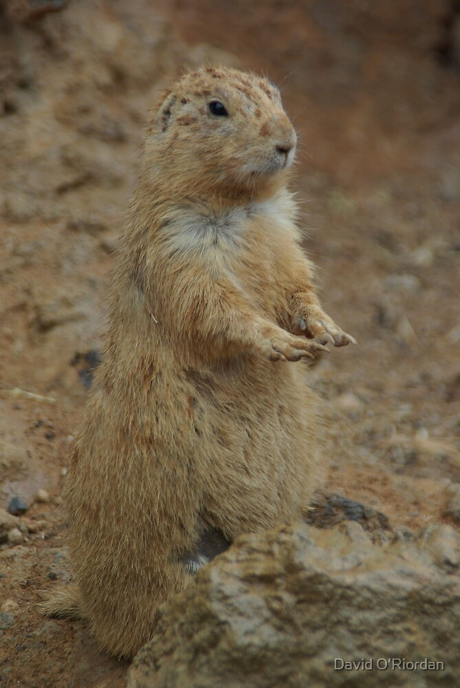 Prairie Dog by David O'Riordan