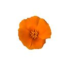 Golden Poppy Flower by Sara Sadler