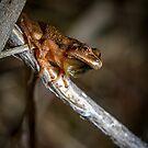 Spring Peeper (Pseudacris crucifer) by Dave Huth