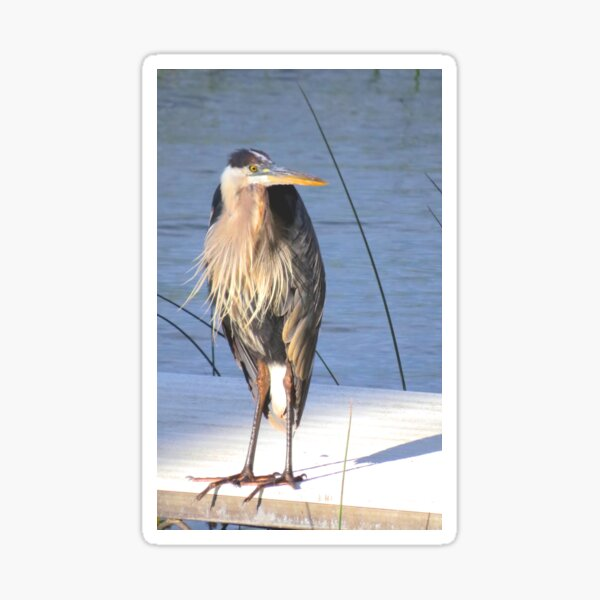 Kyle, the Great Blue Heron Sticker