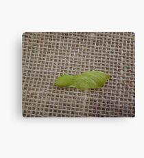 Tipuana seed (Unripe) Canvas Print