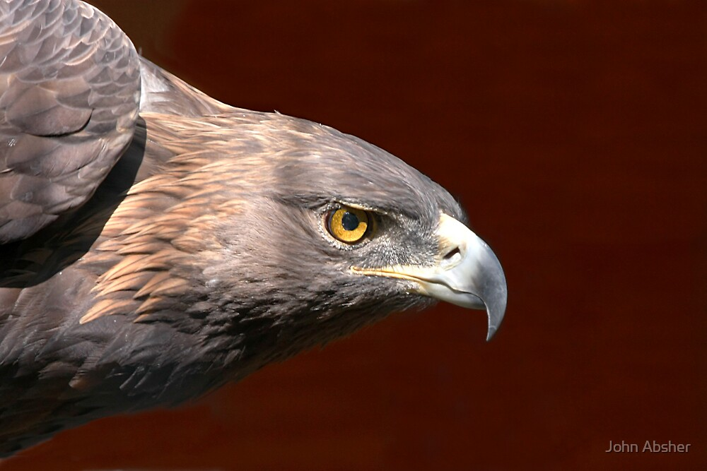 Golden Eagle - Look of Determination by John Absher