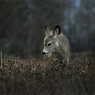 Fawn contemplates dried out cereal grains by Normcar