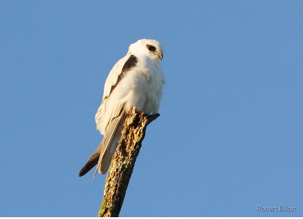 Black-shouldered Kite  by Robert Elliott