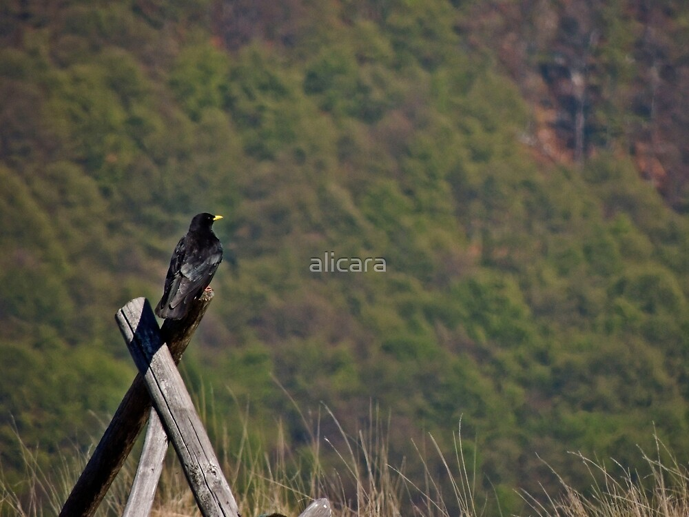 crow on a fence  by alicara