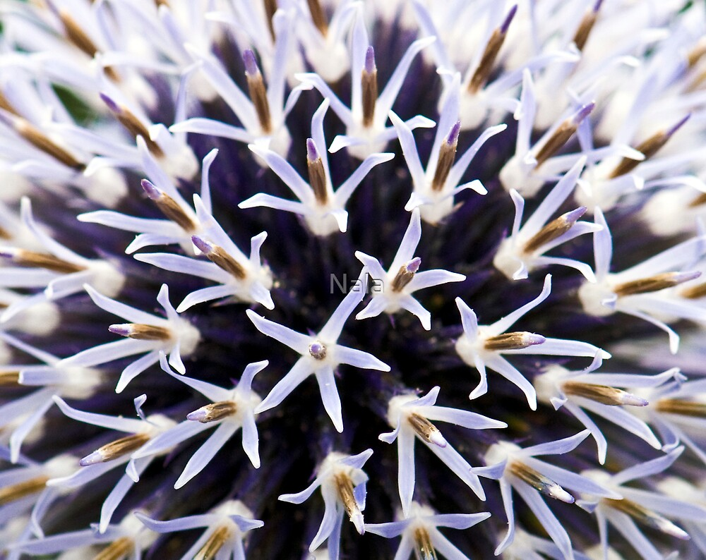 chinops or Globe Thistle by Nala