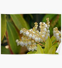 "Pieris Japonica ""Forest Flame"" Poster"