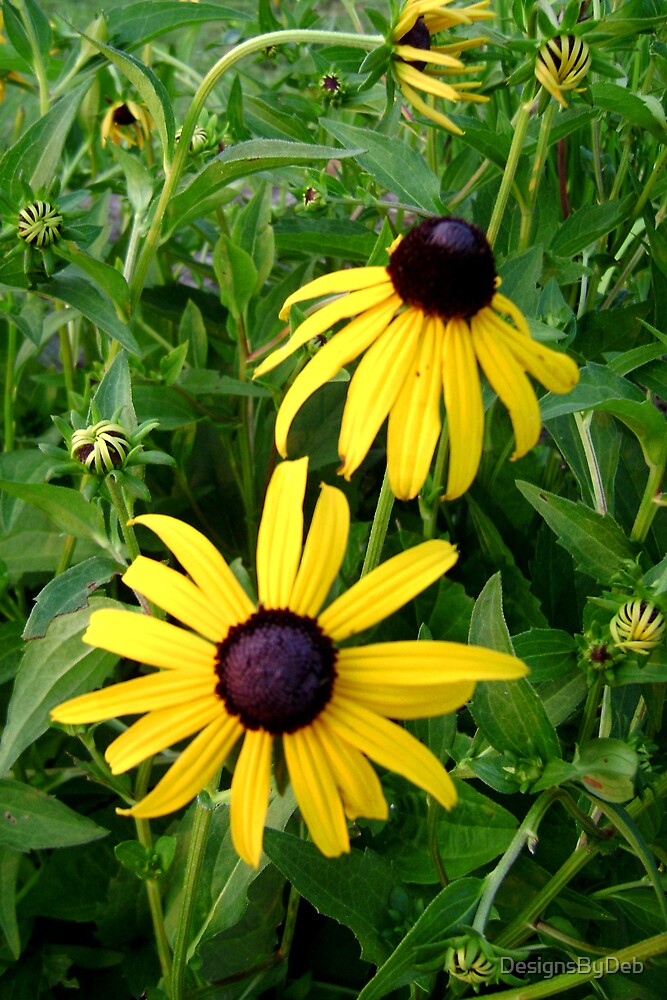 Black Eyed Susans by DesignsByDeb